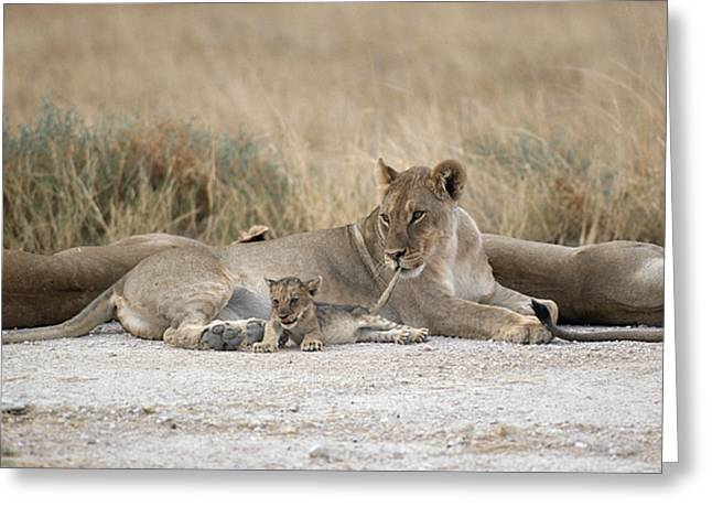 A Lioness Mouths A Cubs Tail To Keep Greeting Card by Des &Amp Jen Bartlett