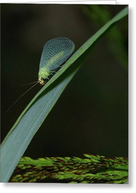 Flying Insect Greeting Cards - A Little Bug On A Grass Blade  Greeting Card by Jeff  Swan