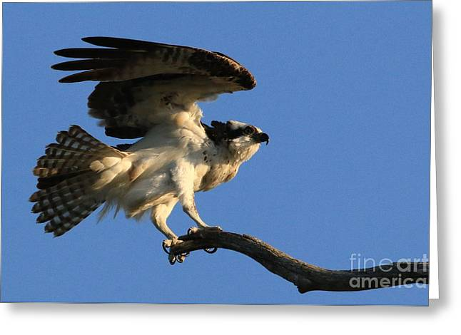 Hunting Bird Greeting Cards - A Little Stretch Before The Next Flight Greeting Card by Craig Corwin