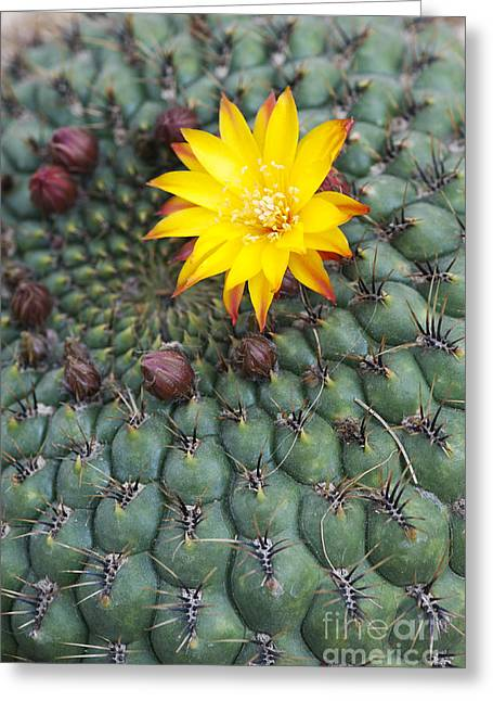 Cactus Flowers Greeting Cards - A Little Yellow Flower Greeting Card by Tim Gainey