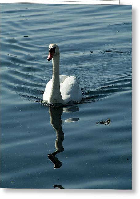 Groton Greeting Cards - A Lone Swan Swims Through The Water Greeting Card by Todd Gipstein