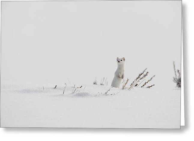 Three-quarter Length Greeting Cards - A Long-tailed Weasel Pops Greeting Card by Drew Rush