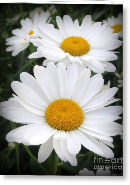 Botanical Greeting Cards - A Lovely Pair Of Shasta Daisies Greeting Card by Kay Novy