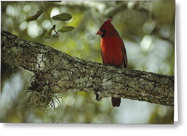 Cardinalis Greeting Cards - A Male Cardinal Perches On A Tree Greeting Card by Klaus Nigge