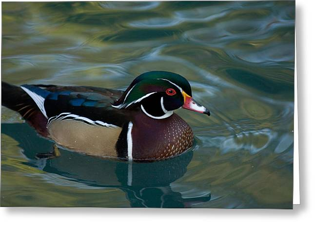 Property Released Photography Greeting Cards - A Male Wood Duck Aix Sponsa Greeting Card by Joel Sartore