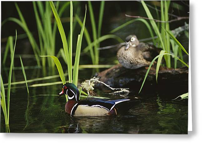 A Male Wood Duck Swims Past Its Mate Greeting Card by Raymond Gehman