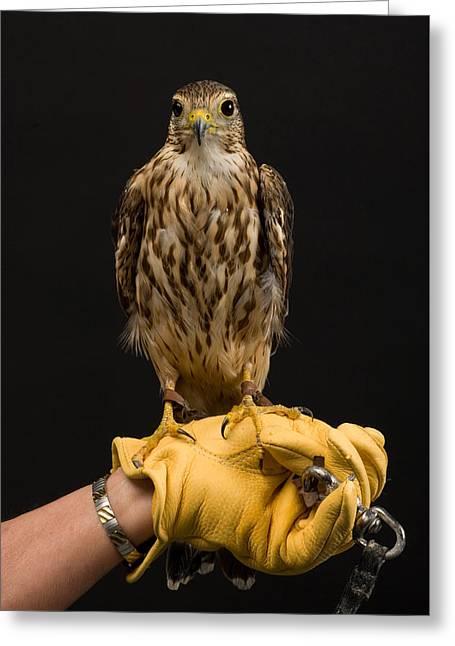 A Merlin Falco Columbarius Greeting Card by Joel Sartore