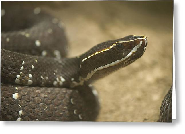 Desert Dome Greeting Cards - A Mexican Cantil Viper At The Henry Greeting Card by Joel Sartore