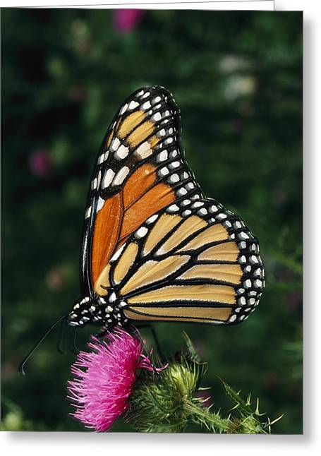 Danaus Plexippus Greeting Cards - A Monarch Butterfly Sits On A Thistle Greeting Card by George Grall