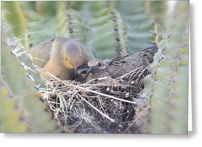 Mourning Dove Greeting Cards - A Mothers Love  Greeting Card by Saija  Lehtonen