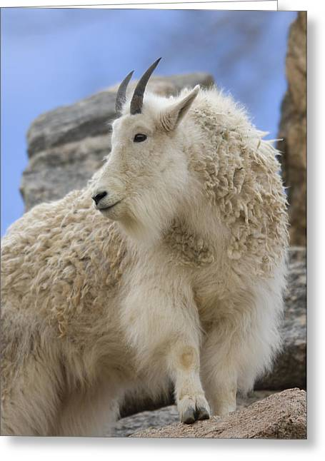 Release Greeting Cards - A Mountain Goat Oreamnos Americanus Greeting Card by Joel Sartore