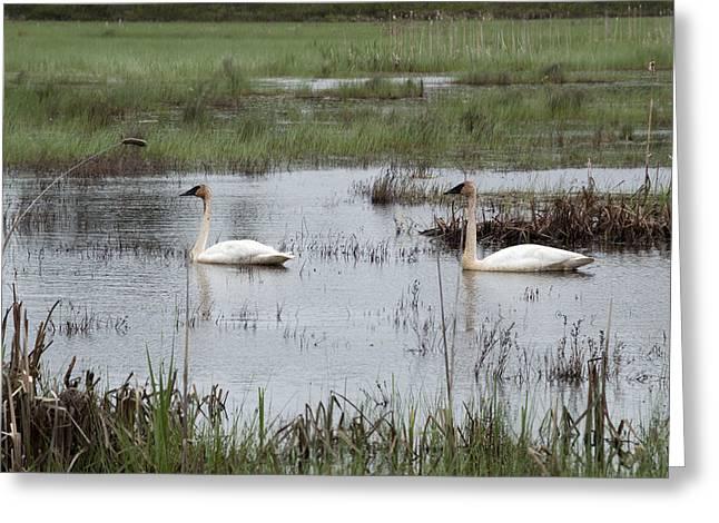 Swans... Greeting Cards - A Pair in Seney Greeting Card by Linda Kerkau