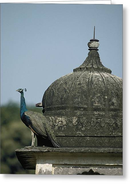 Religious Structure Greeting Cards - A Peacock Pavo Species Rests Greeting Card by Jason Edwards