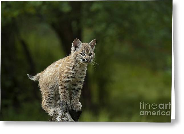 Canadian Lynx Greeting Cards - A Perch with a View Greeting Card by Sandra Bronstein