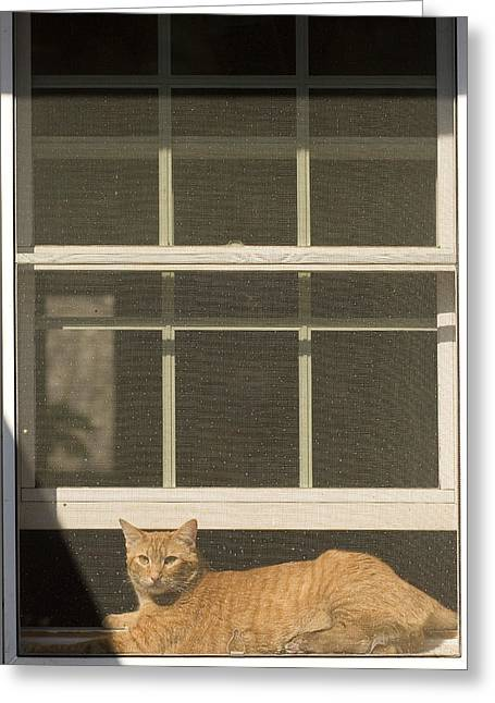 Domestic Short Hair Cat Greeting Cards - A Pet Cat Resting In A Screened Window Greeting Card by Charles Kogod