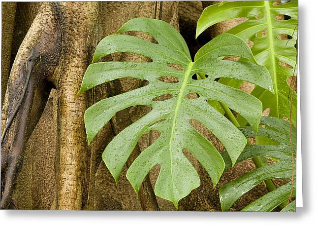 Philodendron Greeting Cards - A Philodendron Grows On The Side Greeting Card by Tim Laman