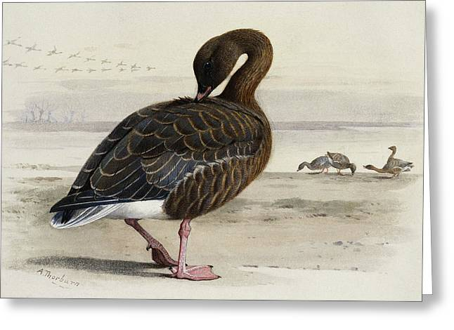 A Pink Footed Goose Greeting Card by Archibald Thorburn