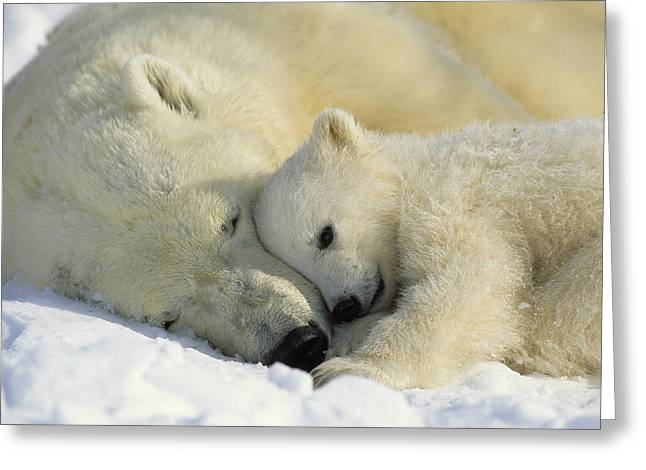 Universe Greeting Cards - A Polar Bear And Her Cub Napping Greeting Card by Norbert Rosing