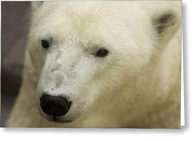 A Polar Bear At The Henry Doorly Zoo Greeting Card by Joel Sartore