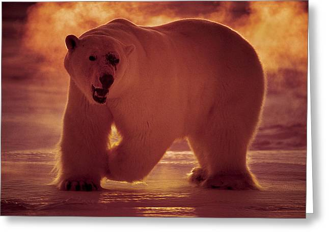 Nunavut Greeting Cards - A Polar Bear Hunts In -40 Celsius Greeting Card by Paul Nicklen