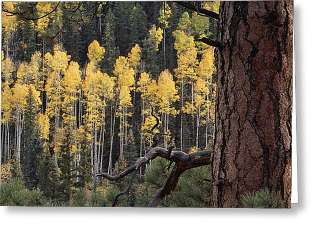 Image Setting Greeting Cards - A Ponderosa Pine Tree Among Aspen Trees Greeting Card by Bill Hatcher