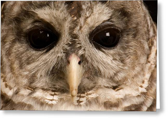 Property Released Photography Greeting Cards - A Portrait Of A Barred Owl Strix Varia Greeting Card by Joel Sartore