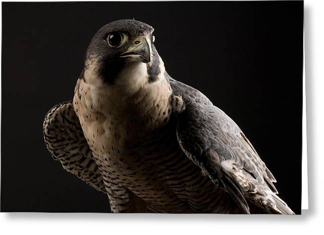 Property Released Photography Greeting Cards - A Portrait Of A Peregrine Falcon Falco Greeting Card by Joel Sartore
