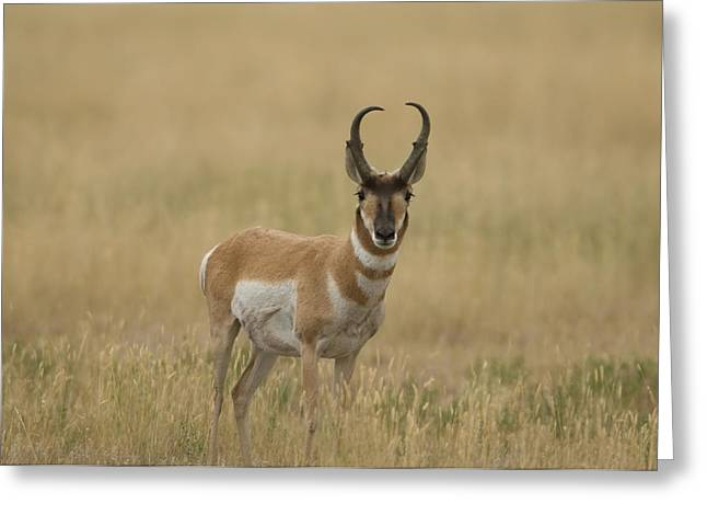 A Pronghorn Antelope At Charles M Greeting Card by Joel Sartore