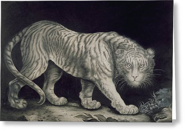 Etching Greeting Cards - A Prowling Tiger Greeting Card by Elizabeth Pringle