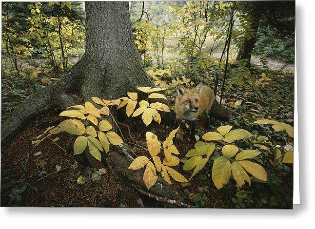 A Red Fox On Isle Royale In Lake Greeting Card by Annie Griffiths