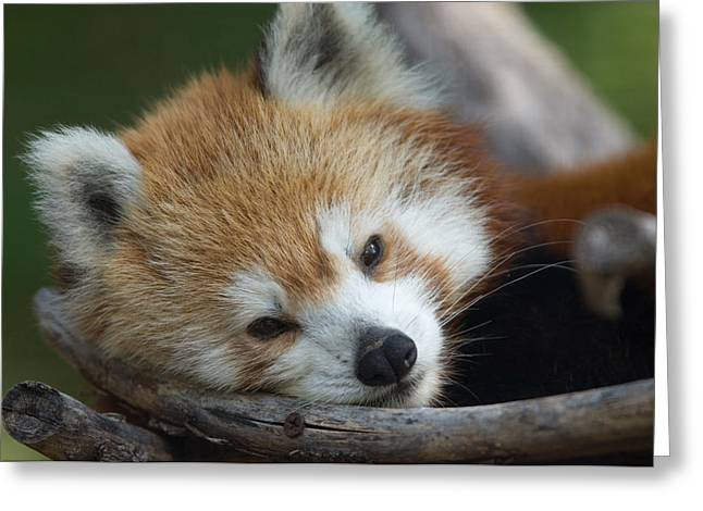 Sunset Zoo Greeting Cards - A Red Panda Ailurus Fulgens Greeting Card by Joel Sartore