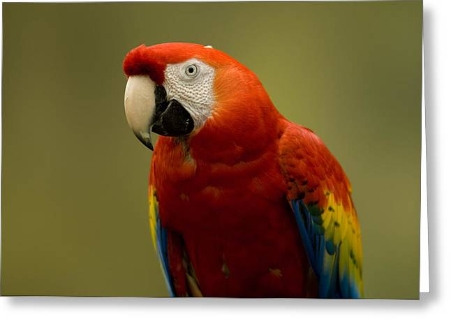 Property-released Photography Greeting Cards - A Scarlet Macaw Ara Macao Greeting Card by Joel Sartore