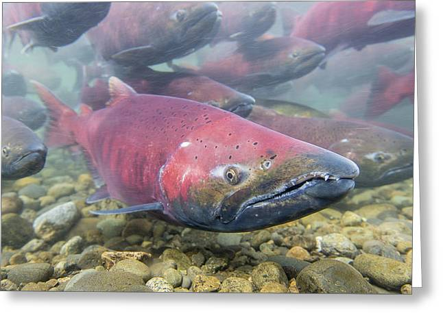 A School Of Chinook Salmon Greeting Card by Tim Grams
