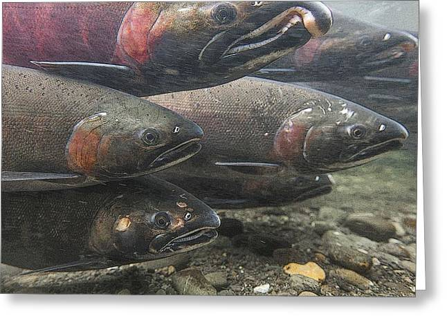 Coho Salmon Greeting Cards - A School of Salmon- Abstract  Greeting Card by Tim Grams