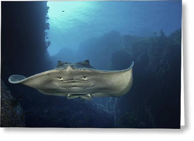 Ray Fish Greeting Cards - A Short-tailed Stingray Swimming In An Greeting Card by Brian J. Skerry