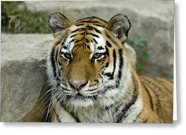 Release Greeting Cards - A Siberian Tiger At The Henry Doorly Greeting Card by Joel Sartore