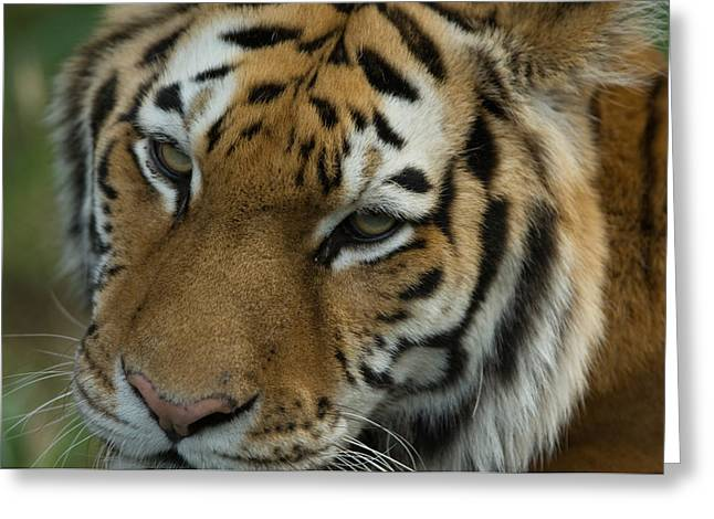 Sunset Zoo Greeting Cards - A Siberian Tiger Panthera Tigris Greeting Card by Joel Sartore