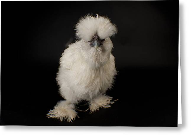 Sunset Zoo Greeting Cards - A Silkie Bantam Chicken Gallus Greeting Card by Joel Sartore