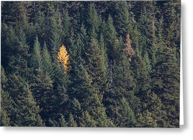 Mountain Valley Greeting Cards - A Single Yellow Tree Stands In Forest Greeting Card by Taylor S. Kennedy