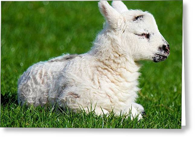 Naivety Greeting Cards - A Sleepy Newborn Lamb In A Field Greeting Card by Tracey Harrington-Simpson