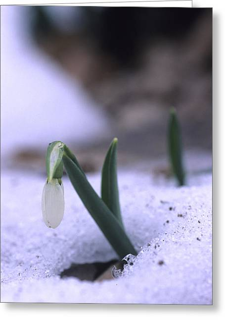 A Snowdrop Pushes Through The Snow Greeting Card by Taylor S. Kennedy