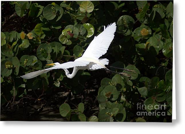 Flying Seagull Greeting Cards - A Snowy Egret flying low by Darrell Hutto Greeting Card by Darrell Hutto