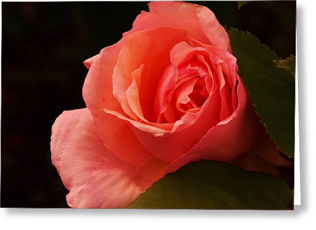 A Soft Rose  Greeting Card by Jeff Swan