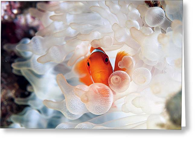 Damselfish Greeting Cards - A Spine-cheek Clownfish Nestles Greeting Card by David Doubilet