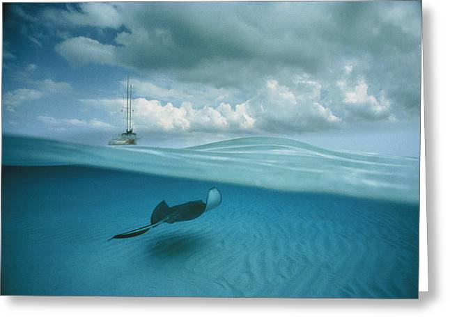 One Sailboat Greeting Cards - A Stingray And Sailboat In North Sound Greeting Card by David Doubilet