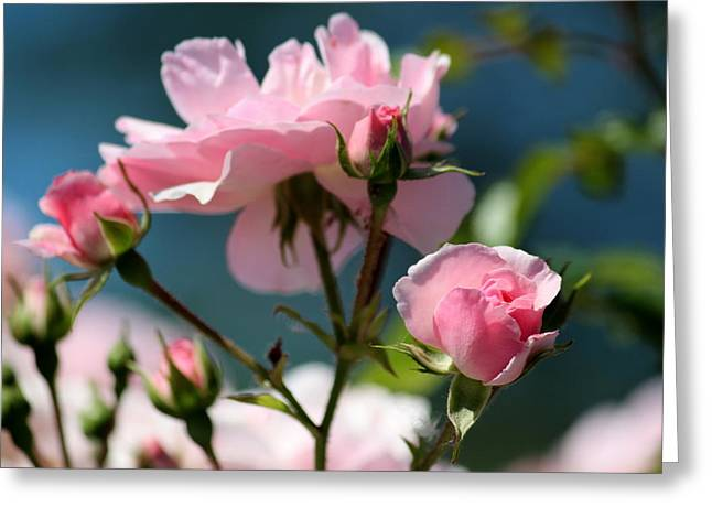 Jordan Greeting Cards - A Summer Dance of Rosebuds Greeting Card by Rosanne Jordan