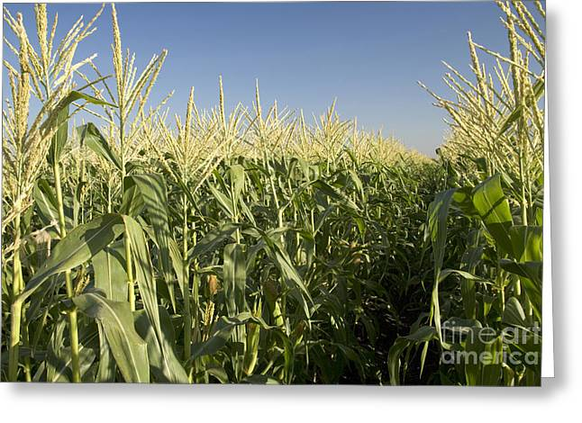 Corn Kernel Greeting Cards - A Sweet Corn Field Greeting Card by Inga Spence