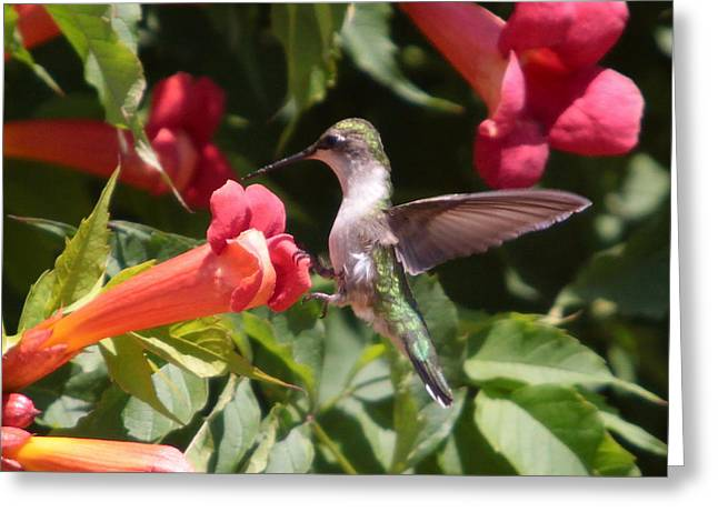 Humming Bird Greeting Cards - A sweet tooth-2 Greeting Card by Robert Pearson