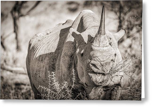 Wild Greeting Cards - A Tasty Thornbush - Black and White Rhinoceros Photograph by Duane Miller Greeting Card by Duane Miller