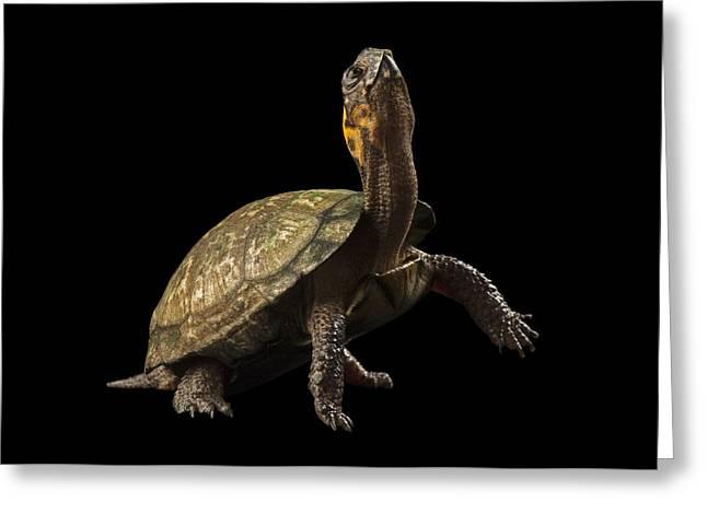 A Threatened Bog Turtle At Zoo Atlanta Greeting Card by Joel Sartore